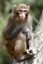 Macaque monkey tree Stock Images
