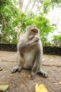 Macaque monkey in Ubud Bali Royalty Free Stock Photo