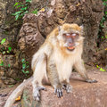 Macaque monkey in wildlife thailand Royalty Free Stock Images