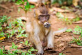 Macaque monkey in wildlife thailand Royalty Free Stock Photo