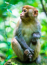 Macaque monkey in Zhangjiajie National Park, China Royalty Free Stock Images