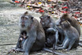 Macaque monkeys with babies nursing Royalty Free Stock Photo