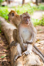 Macaque monkeys in Thailand Stock Images