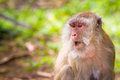 Macaque monkeys in the wildlife Royalty Free Stock Image