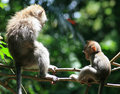 Macaque Parent and Baby Royalty Free Stock Images