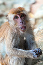 Macaque portrait the monkey looks in the lens camera Stock Photo