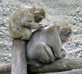 Macaque primacy asia marmoset grey japanese tropics Royalty Free Stock Photos