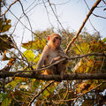 Macaque rhesus macaca mulatta in bardia national park nepal Royalty Free Stock Photography