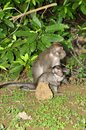 Macaque rhesus macaca mulatta a small monkey native to eastern asia found here in thailand Stock Photography