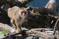 Macaque snow monkey s climbing on some logs Stock Photo