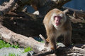 Macaque snow monkey s climbing on some logs Stock Image