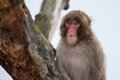 Macaque snow monkey s playing in a tree Royalty Free Stock Image