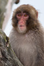 Macaque snow monkey s playing in a tree Royalty Free Stock Photography