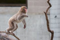 Macaque snow monkey s playing in a tree Royalty Free Stock Photo