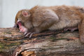 Macaque snow monkey s taking a nap at the zoo Stock Photos
