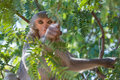 Macaque in a tree looks down from Royalty Free Stock Image