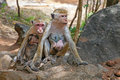 Macaque two monkey mothers with their cute babies Stock Photography