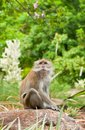 Macaque in the Wild Stock Image