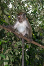 Macaque wild on a tree branch Royalty Free Stock Image