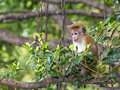 Macaque young monkey sitting on a tree in sri lanka Royalty Free Stock Images