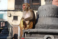 Macaques ape eating banana-Monkey Temple-Kathmandu Stock Photography