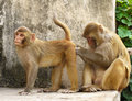 Macaques Monkeys Royalty Free Stock Photo