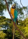 желтый цвет macaw ararauna ara голубой Стоковое Изображение RF