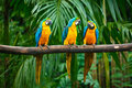 Macaw Azul-e-Amarelo Imagens de Stock