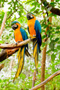 Macaw Azul-e-Amarelo (ararauna do Ara) Imagens de Stock