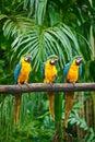 Macaw Azul-y-Amarillo Imágenes de archivo libres de regalías