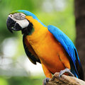 Macaw Bird [Ara ararauna] Stock Photos