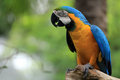Macaw Bird [Ara ararauna] Royalty Free Stock Images