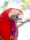 Macaw bird cleans its beak sitting on a branch Stock Image