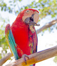 Macaw bird cleans its beak sitting on a branch Stock Photo