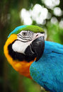 Macaw bird yellow and blue Stock Photography