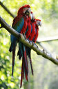 Macaw birds Royalty Free Stock Photos