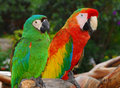 Macaw birds green and red Stock Images