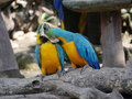 Macaw Birds Royalty Free Stock Photo