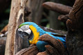 Macaw blue and gold perch on the branch Stock Photos