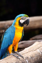 Macaw blue and gold perch on the branch Royalty Free Stock Photography