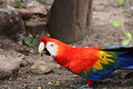 Macaw bright red eating something on the ground Royalty Free Stock Image