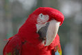 Macaw close up of head of Royalty Free Stock Images