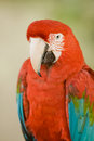 Macaw close up of a miami florida usa Royalty Free Stock Image