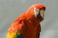 Macaw close up of a miami florida usa Royalty Free Stock Photography