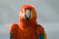 Macaw close up of a miami florida usa Stock Photos