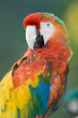 Macaw close up of a miami florida usa Royalty Free Stock Images