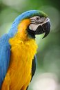 Macaw a close up shot of a parrot Stock Photography