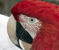 Macaw eye big red focus on awesome pattern hair Royalty Free Stock Images