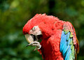 Macaw green winged sort ara chloroptera Royalty Free Stock Image