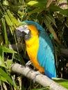 Macaw Royalty Free Stock Photo
